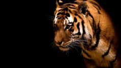 Fearless And Beautiful Tiger