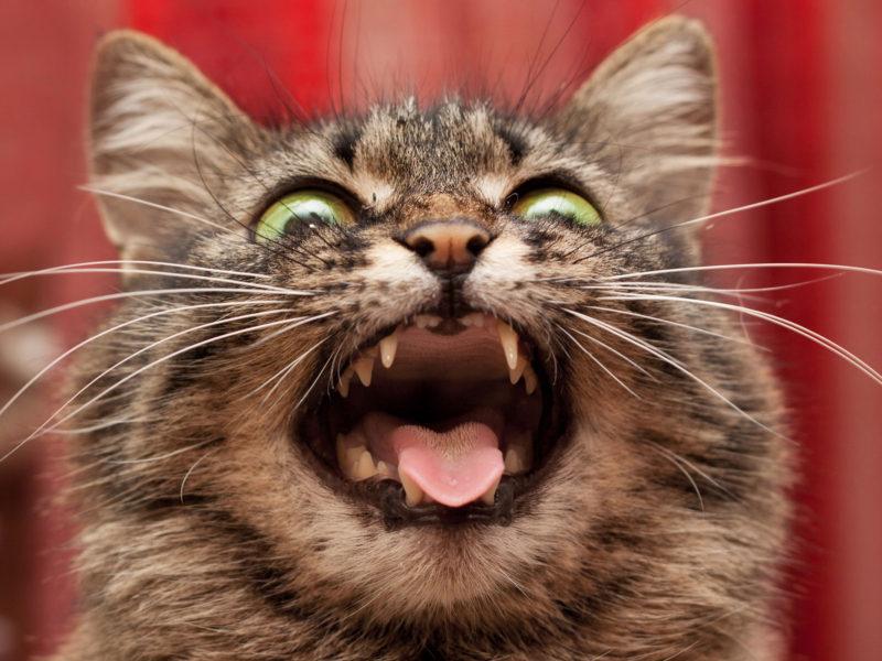 Cute cat pretending to be fierce