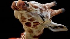 A Baby Giraffe Looking Way Too Happy