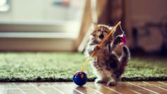 A Cat Playing