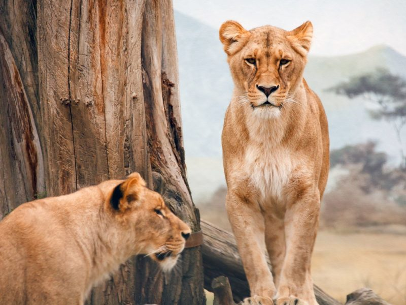 African Lioness Pure Hd