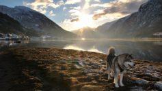 Alaskan Husky In His Domain Hd Enjoy