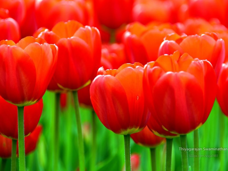 Albany Tulip Festival 1280×800