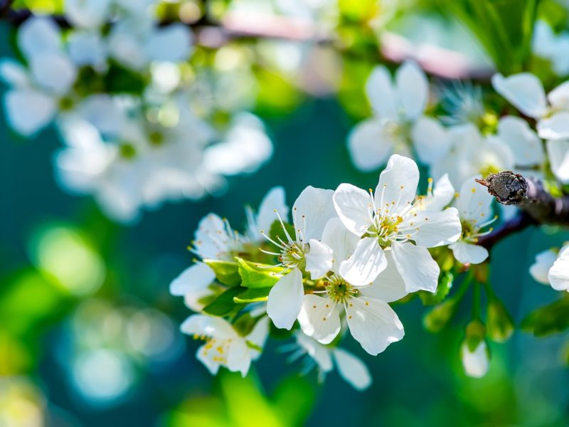 Apple Flowers 1280×800