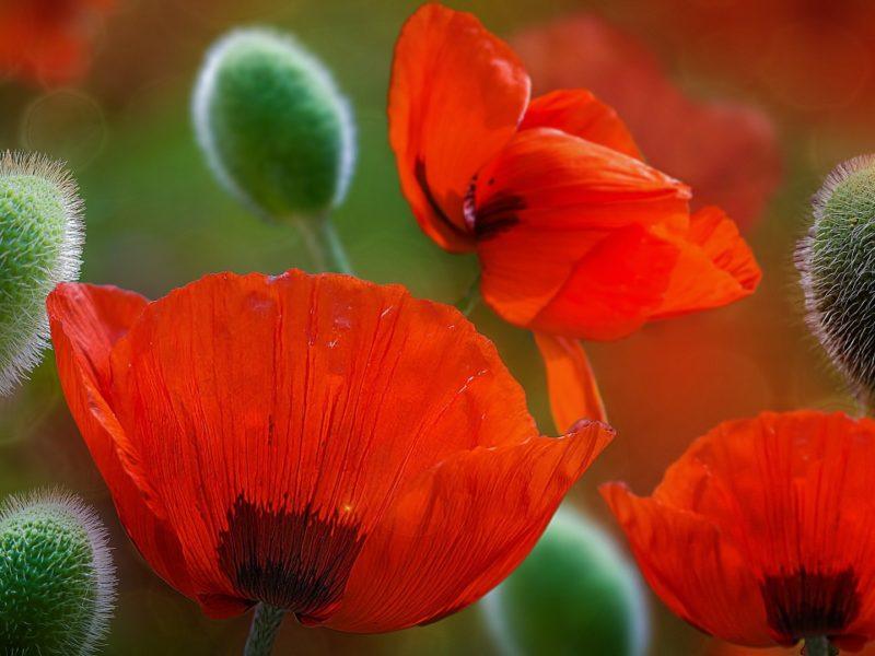Beautiful Poppy Flowers 1280×720