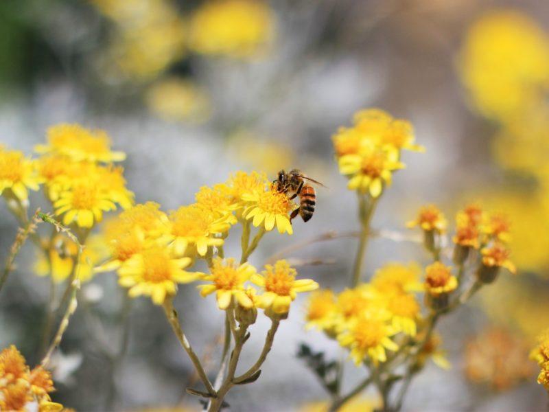 Bee Pollination 1280×800