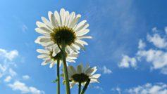 Blue Sky Daisies 1280×800