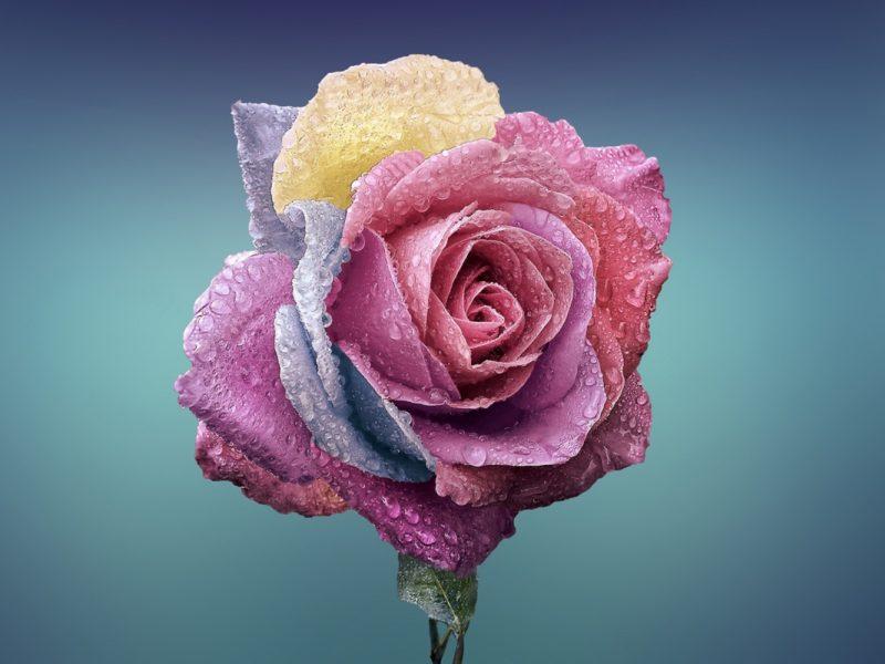 Colorful Rose 1280×800