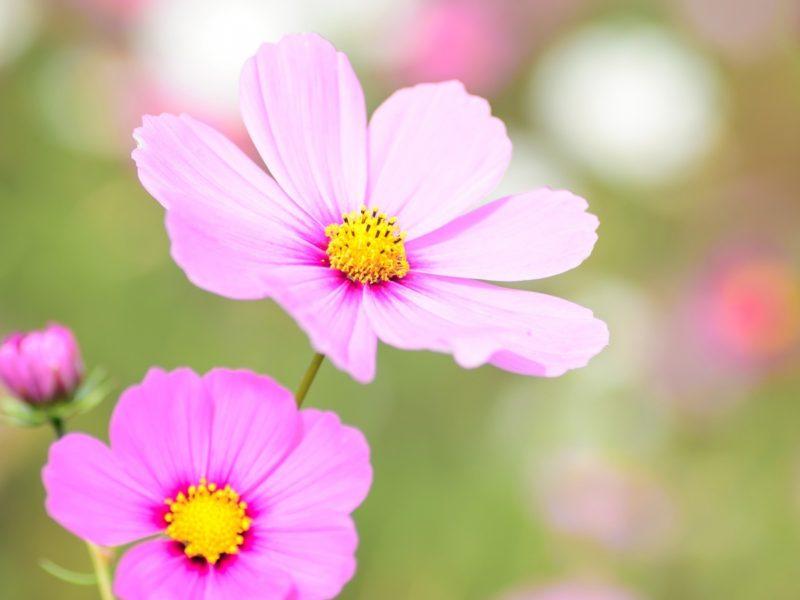 Cosmea Floral Bloom 1600×900