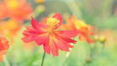 Cosmos Autumn Flower 1280×800