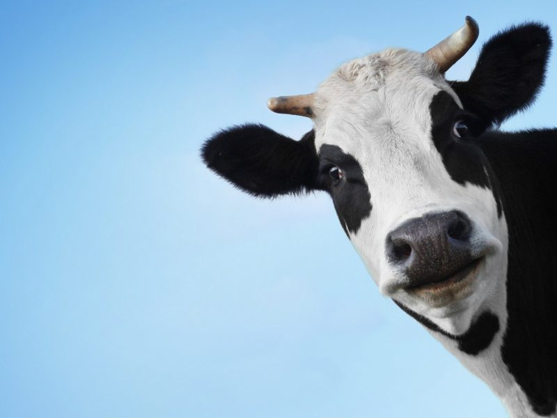 Cow Face Funny