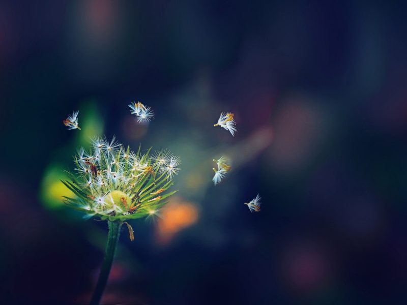Dandelion Flies 1280×800