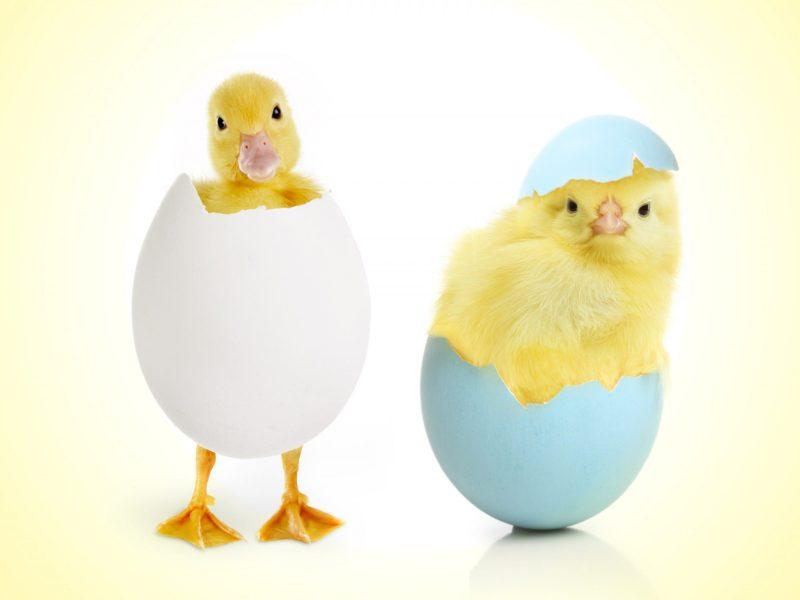 Egg Hatching Chicks Funny