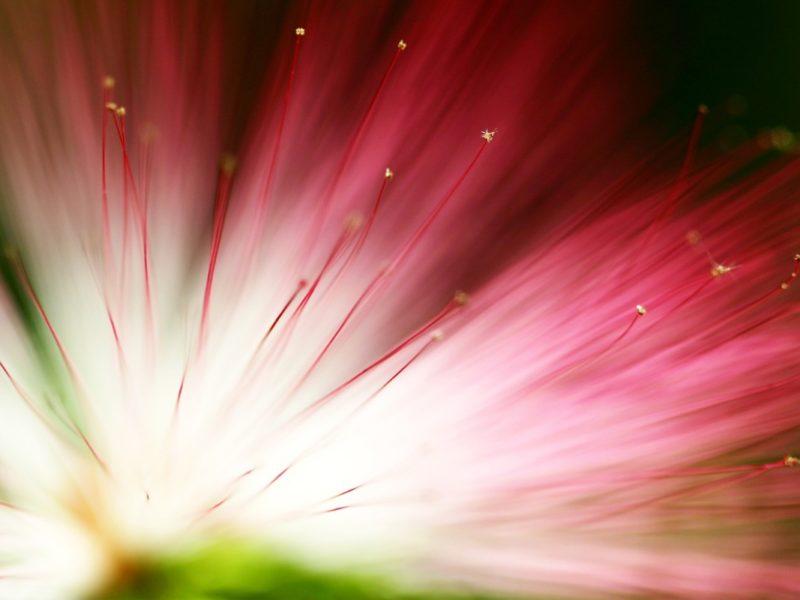 Eucalyptus Flower 1280×800