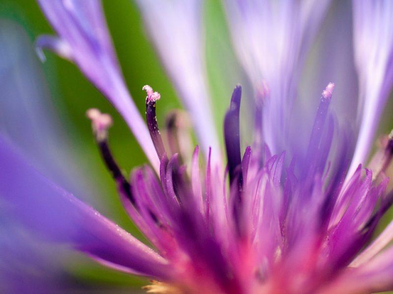Flower Of Purple 1280×720