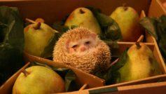 Funny Box Hedgehog Pears 72962 1920×1200
