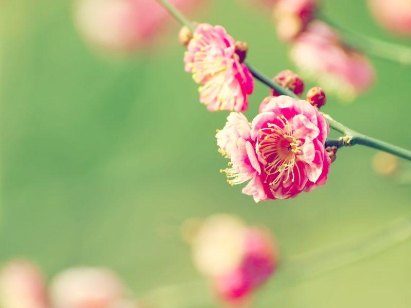 Japanese Apricot 1280×800