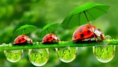 Lady Bugs With Umbrella Funny