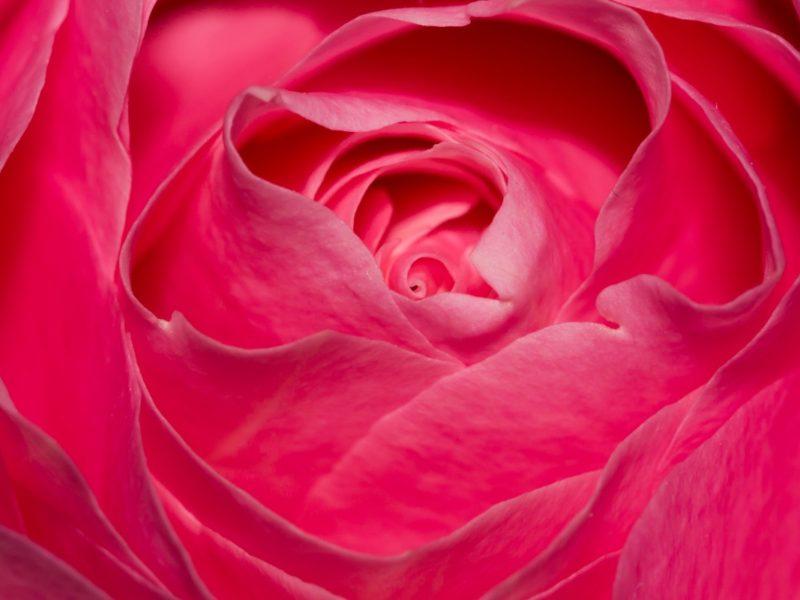 Perfect Pink Rose 1280×800