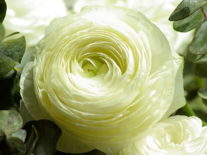 Persian Buttercup White Flower 1280×720