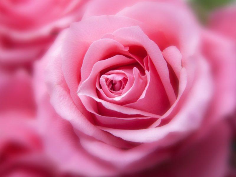 Pink Color Rose 1280×800