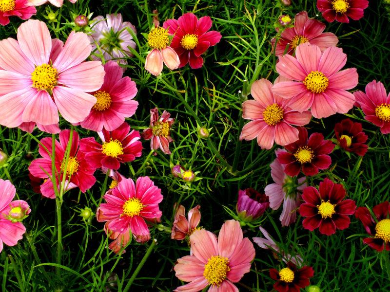 Pink Cosmos Flowers Wide