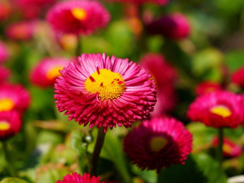Pink Daisies 1280×800