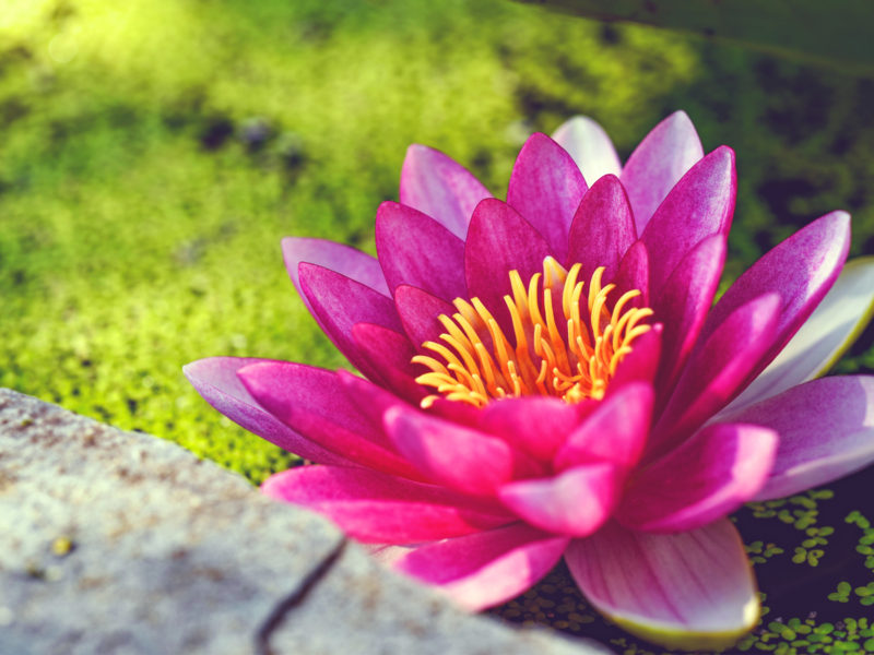 Pink Water Lily Flower Wide