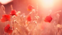 Poppy Flowers Summer Light 1280×800