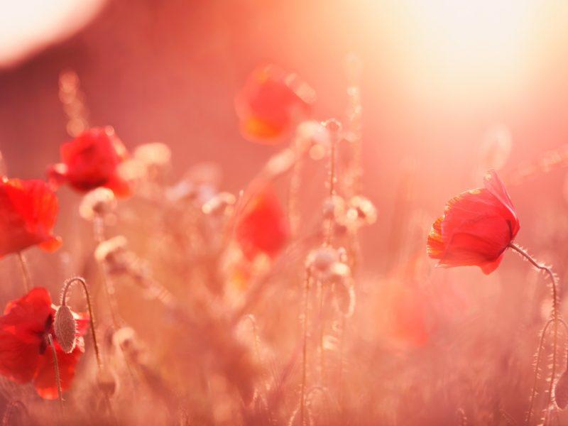 Poppy Flowers Summer Light 1280×800