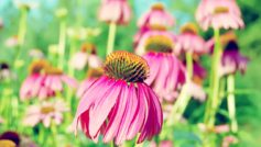 Purple Coneflower 1280×800