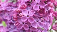 Purple Lilac Flowers 2560×1440