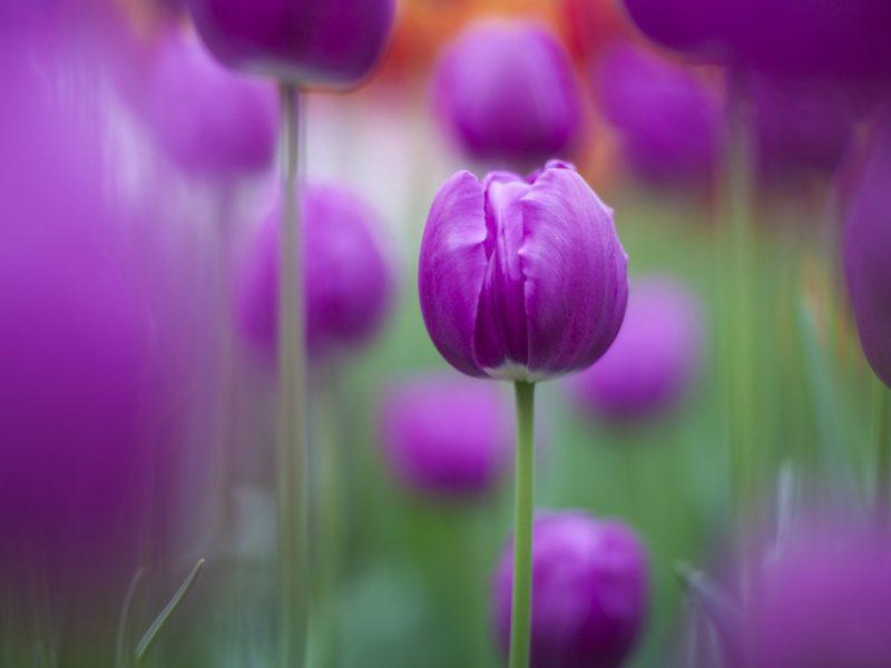 Purple Tulips 1280×800