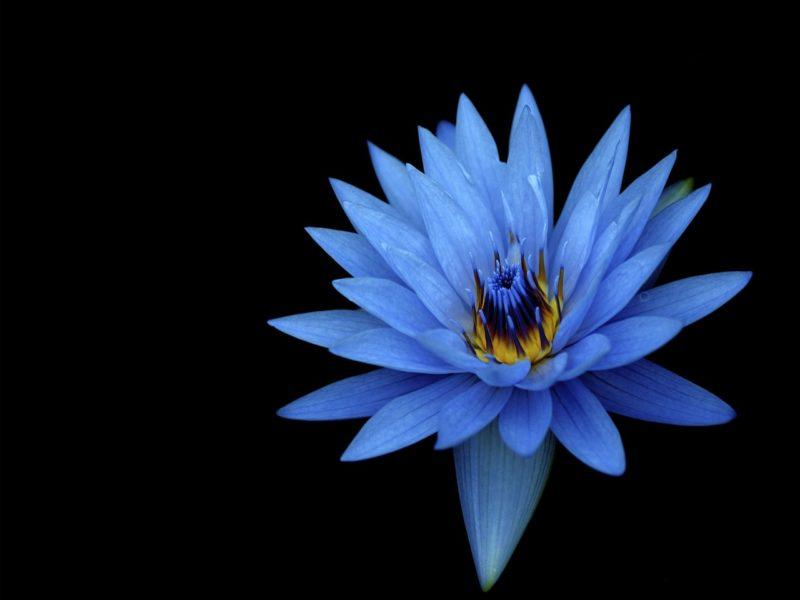Sony Xperia Z Stock Blue Flower 1280×1024