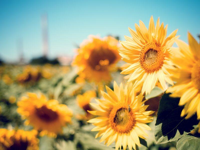 Sunflower Garden 1280×800
