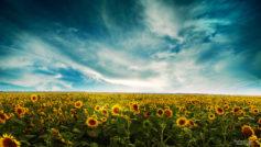 Sunflowers Landscape Wide