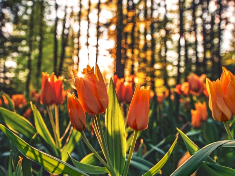 Tulips Orange 1280×720