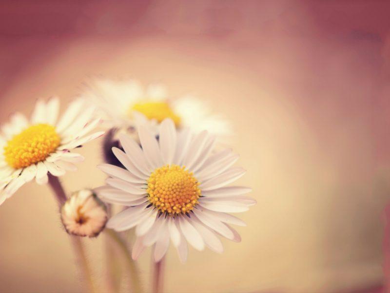 White Daisies 1280×800