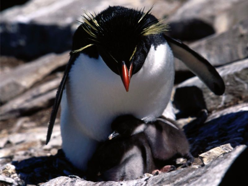 Yellow Crested 4k Penguins