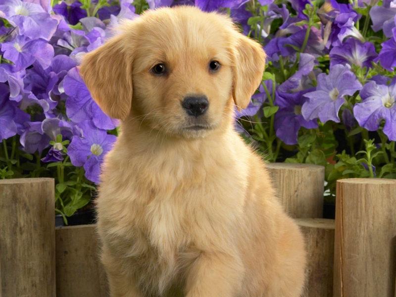 Yellow Labrador Puppy