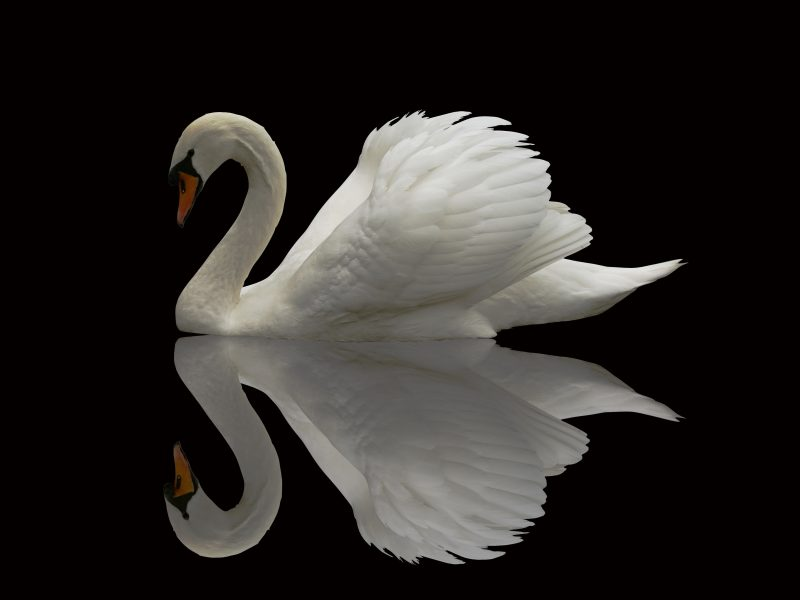 Swan with Black background