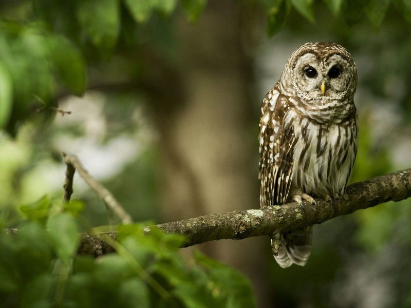 An Owl Sits On A Tree Branch