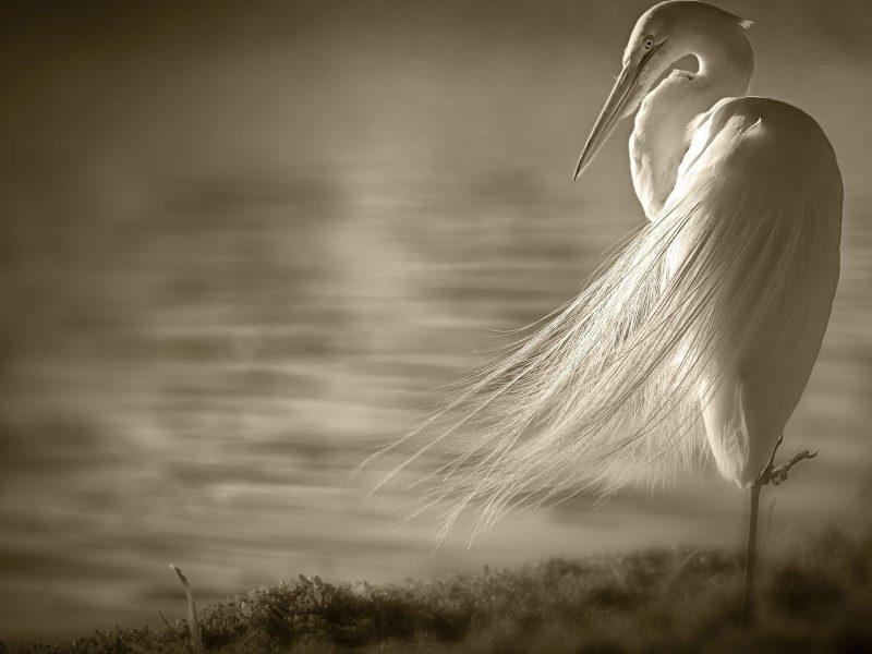Animals Birds Crane Sepia Water Lakes
