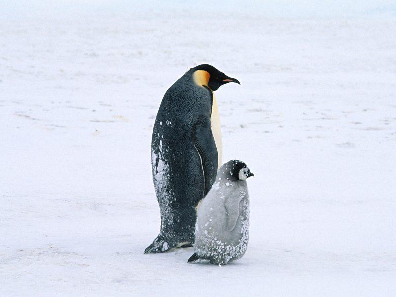 Arctic Penguins Life