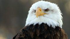 Bald Eagle Hd Wide