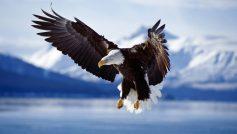Bald Eagle In Flight Alaska