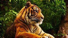 Beautiful Bengal Tiger