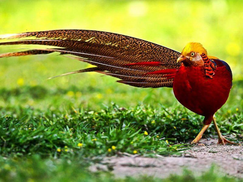 Beautiful Pheasant
