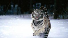 Beautiful Tiger1