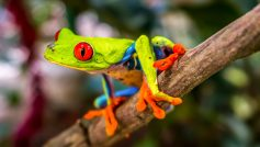 Beautiful Tree Frog